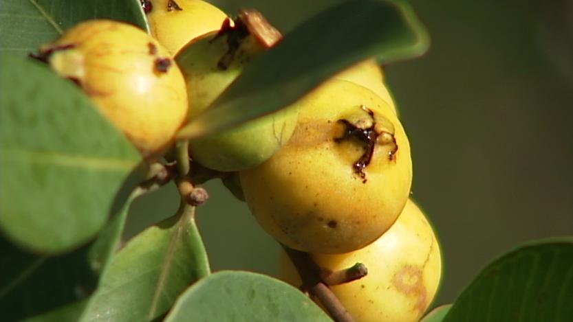 VIDEO: Strawberry Guava biocontrol meeting in Honokaa