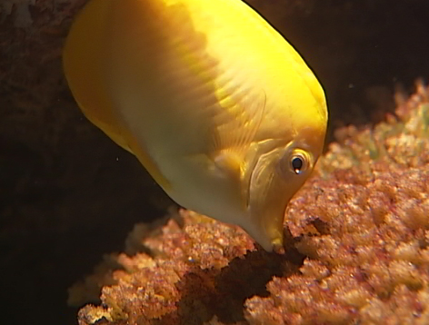 Study shows fish stocks can replenish from distant larvae for Hilo fish company