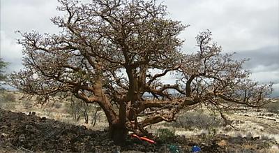 Waikoloa Dry Forest Initiative update