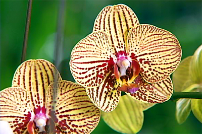 Orchids on display at 60th annual Hilo Orchid Show