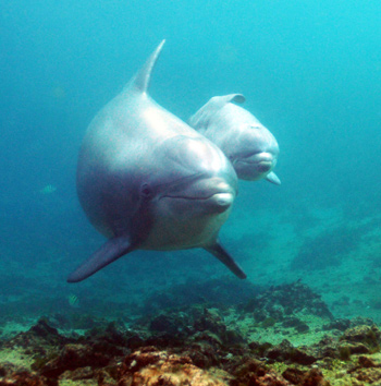 New baby dolphin born to 12 year old mother, Keo, at Dolphin Quest Hawaii