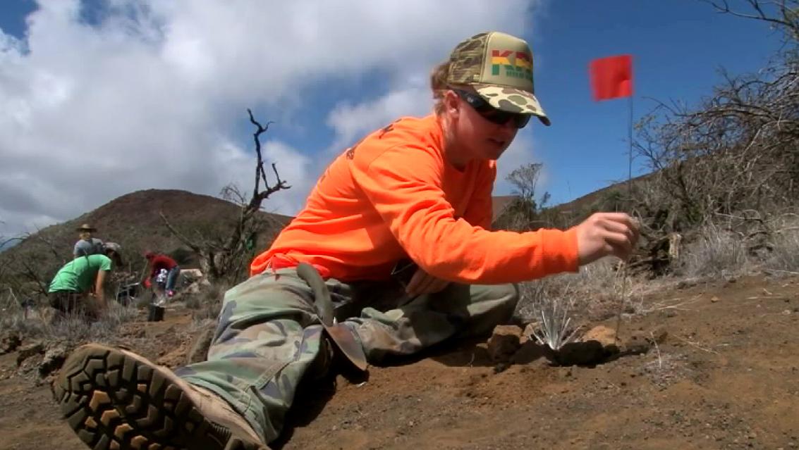 VIDEO: Volunteers plant rare silverswords on Mauna Kea