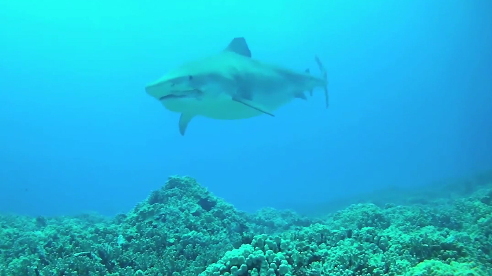 Screen capture of Lavern the tiger shark