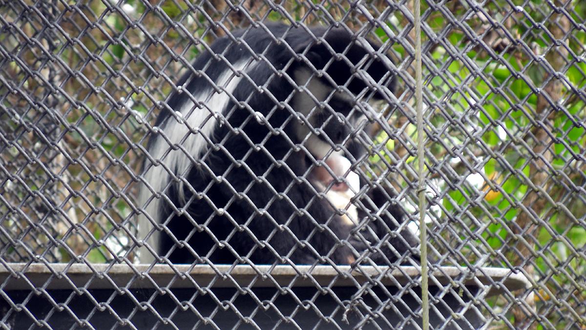 Colobus Monkey born at Pana'ewa Rainforest Zoo and Gardens