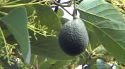 Sharwil avocado grows in Kona
