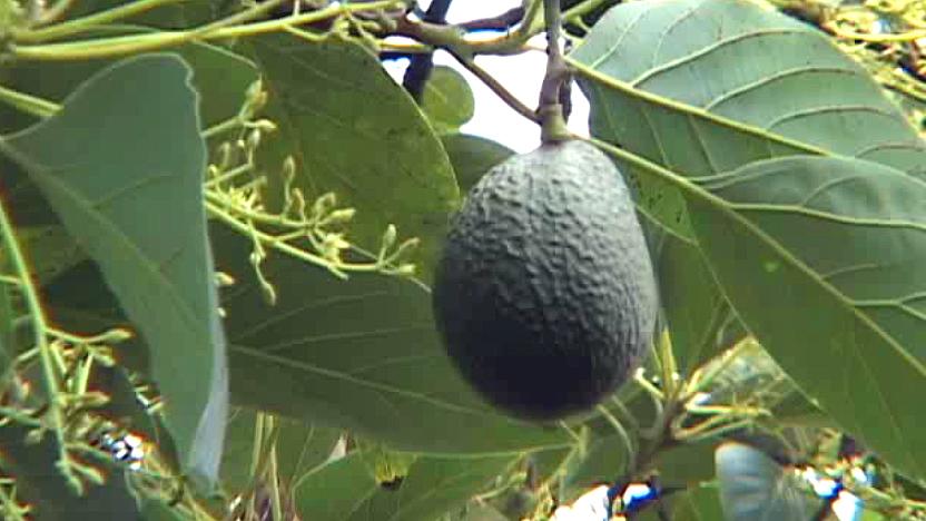 Sharwil avocado grows in Kona