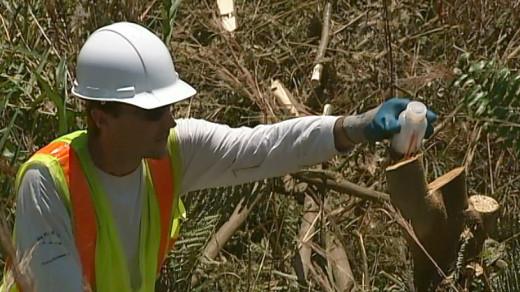 Killing invasive albizia along the Puainako Steet Extension