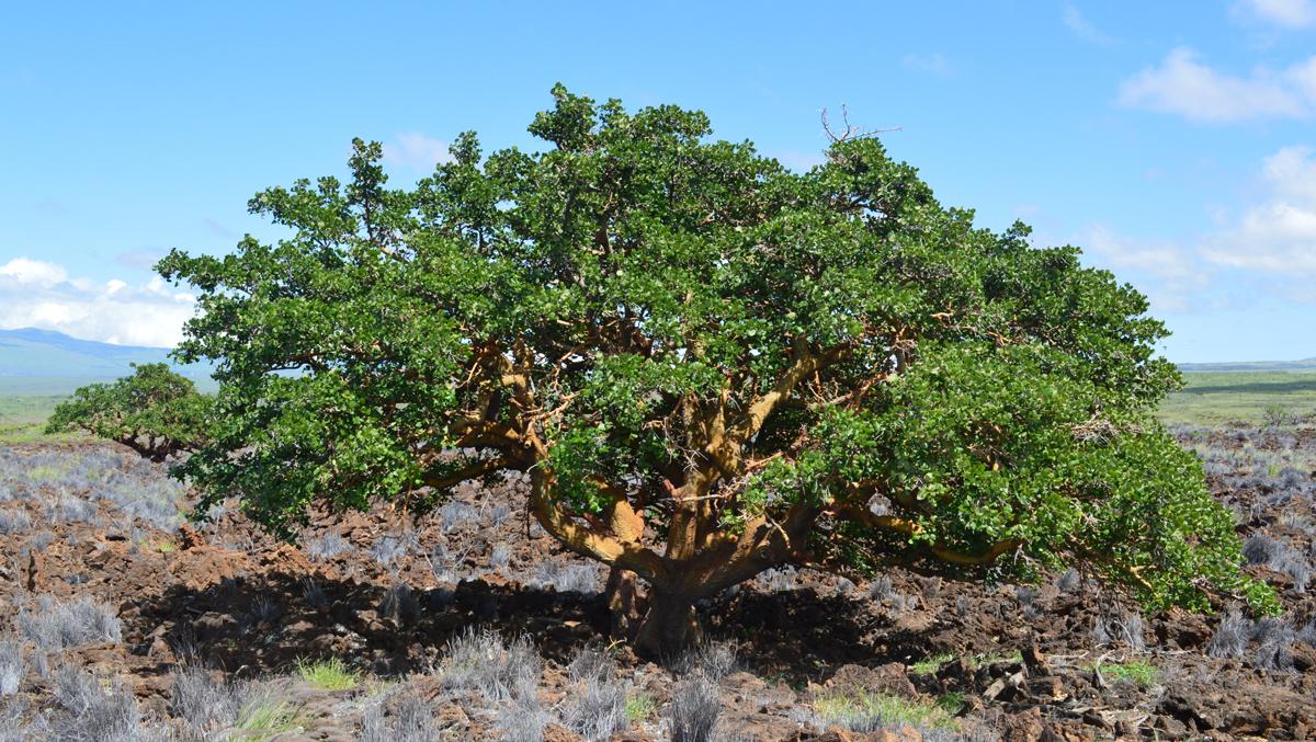 Wiliwili Trees Big Island