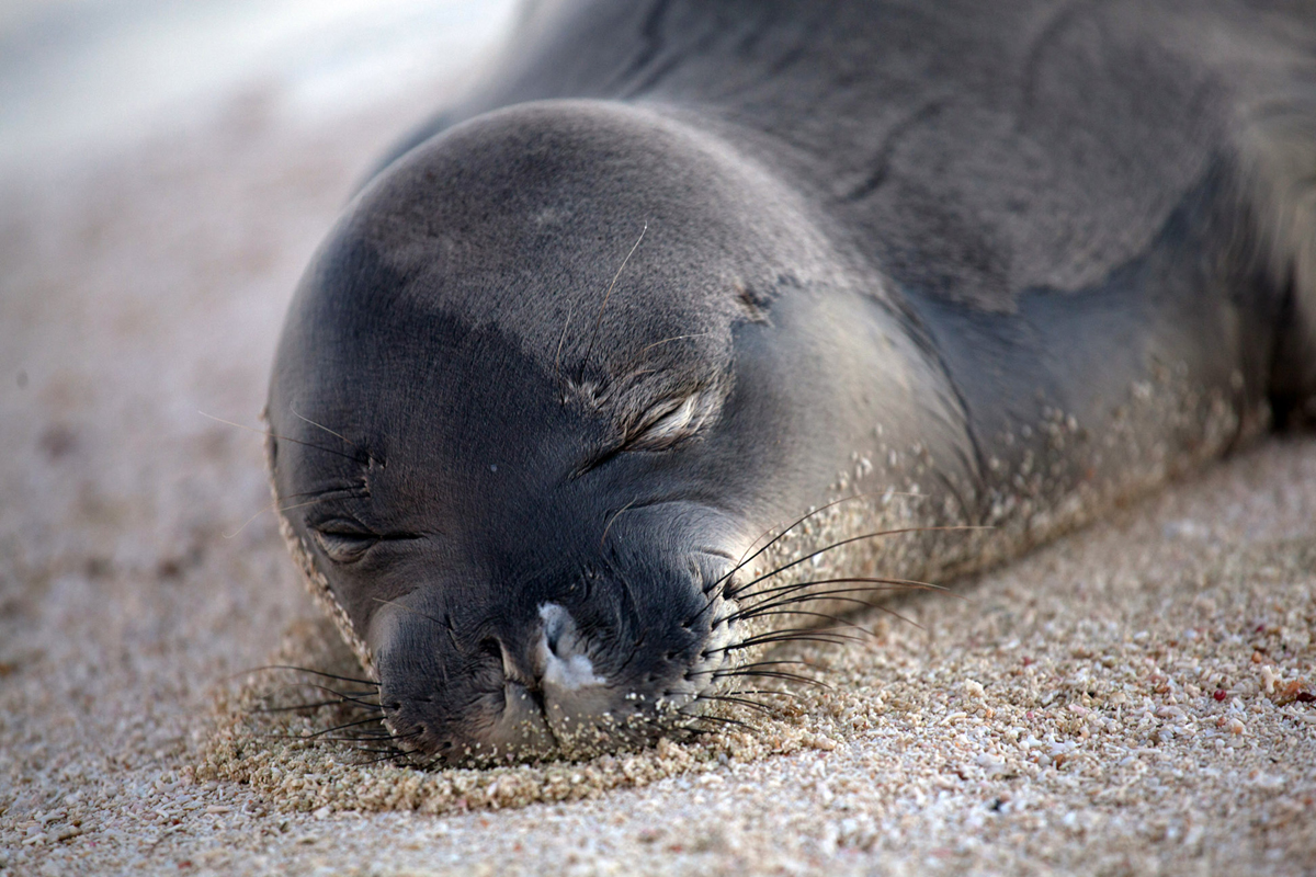 Video Monk Seals Become First Patients At New Kona Center