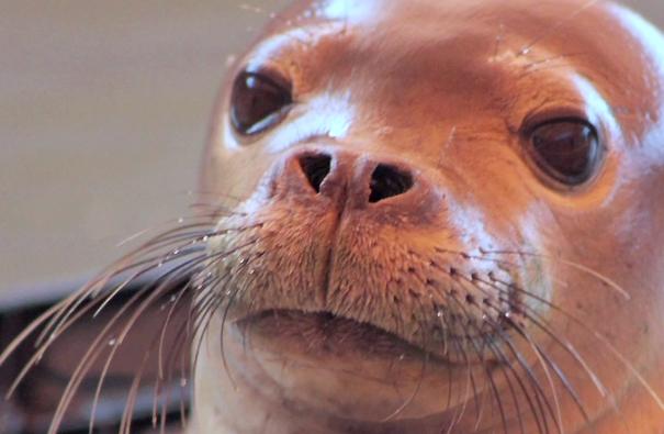 VIDEO: Hawaiian Monk Seals Get New Hospital in Kona