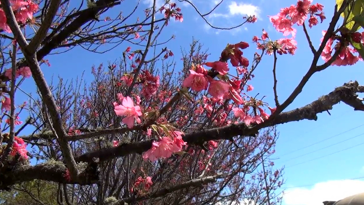 VIDEO: 2015 Waimea Cherry Blossom Festival