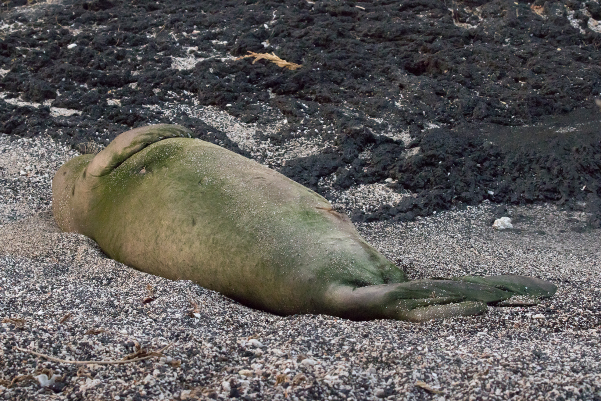 Hawaiian Monk Seal Prowling Harbor For Hand Outs
