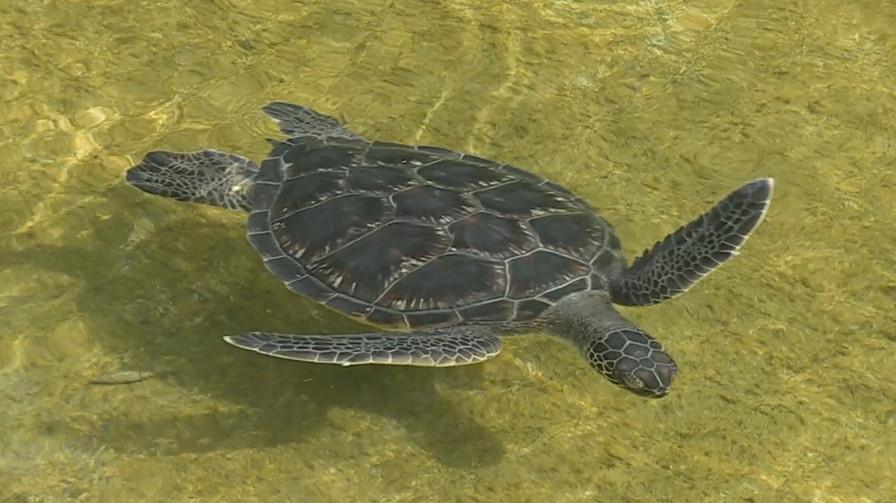 VIDEO: Turtle Independence Day at Mauna Lani Resort