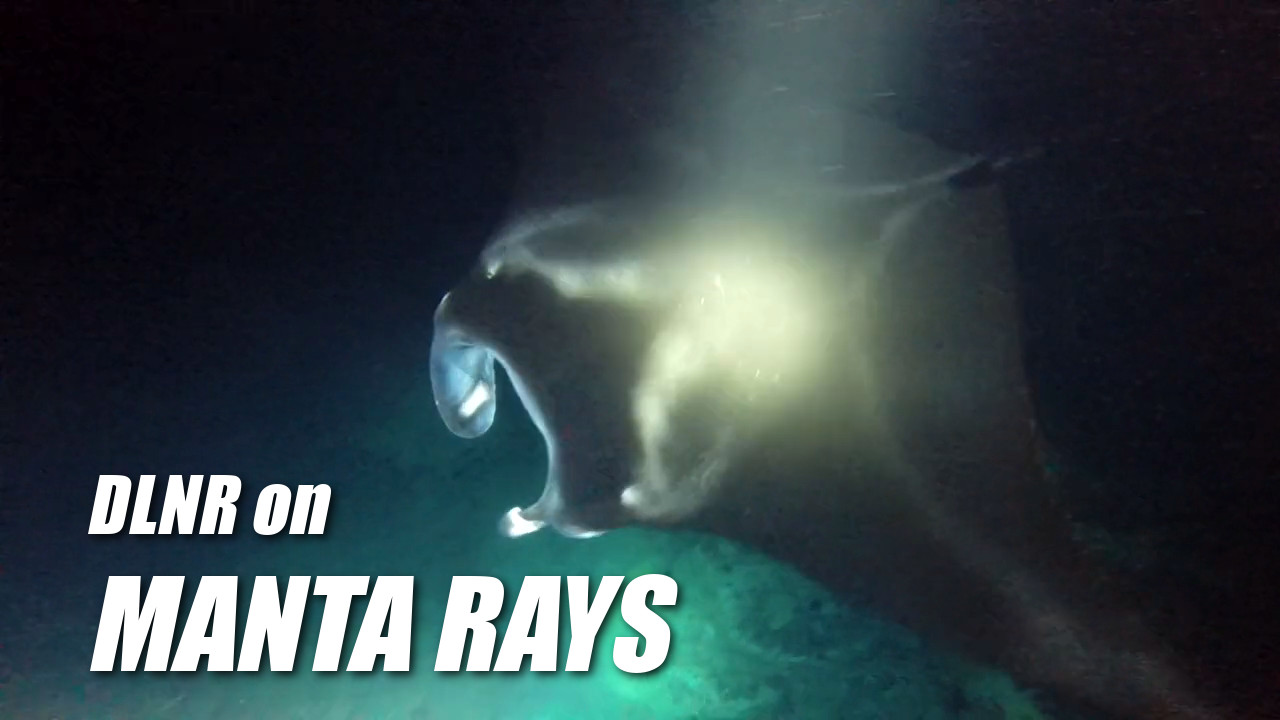 VIDEO: DLNR Eyes Manta Ray Dive Rules