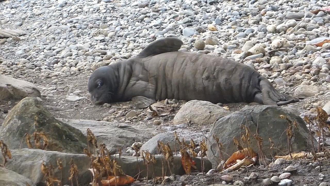 VIDEO: Second Hawaiian Monk Seal Pup Lost At Keokea Beach