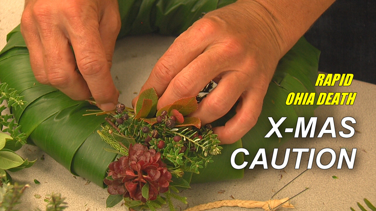 VIDEO: Rapid Ohia Death Alters Holiday Tradition