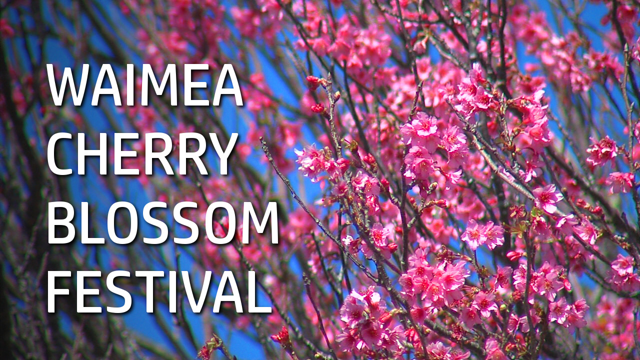 VIDEO: Waimea Cherry Blossom Festival In Full Bloom