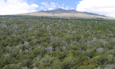 Laupahoehoe Forest Management Plan Open For Comment