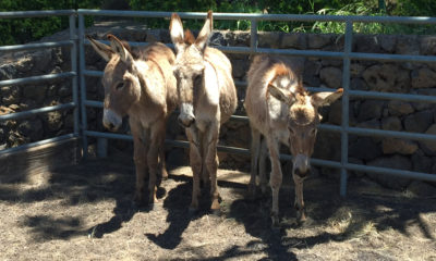 Final 50 Waikoloa Donkeys Prepared For Adoption