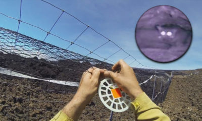VIDEO: Largest Cat-proof Fence Built On Largest Volcano
