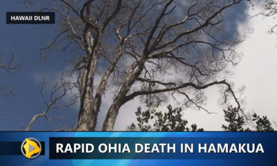 VIDEO: Ohia Death Kills Centuries Old Tree In Hamakua