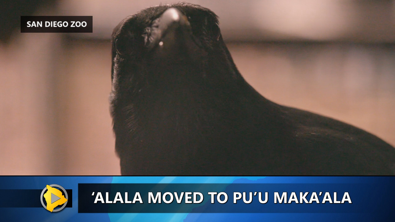 VIDEO: Alala Almost Ready For Release