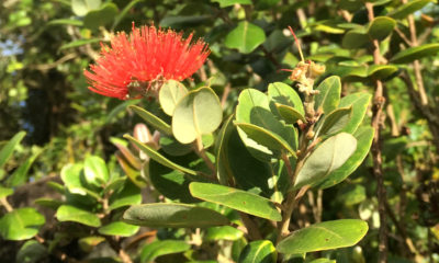 Shipping Ohia Off Hawaii Island Prohibited Permanently