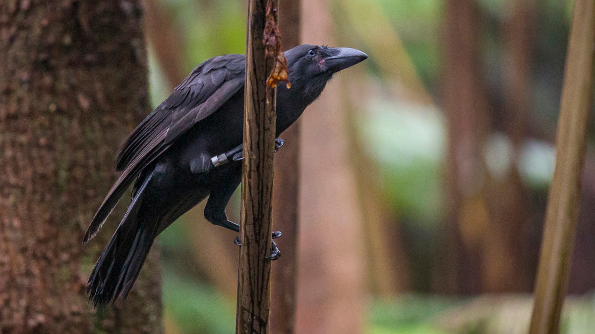 VIDEO: Hawaiian Crow Released After Going Extinct In The Wild