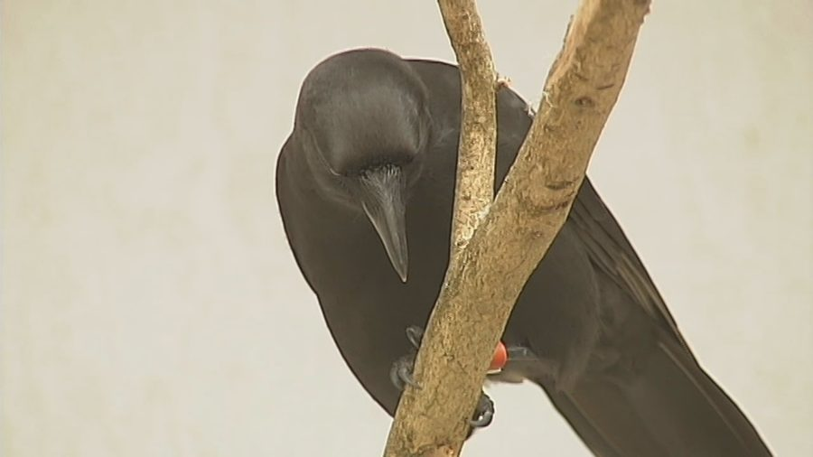 VIDEO: Effort To Save Hawaiian Crow Recounted By Biologist