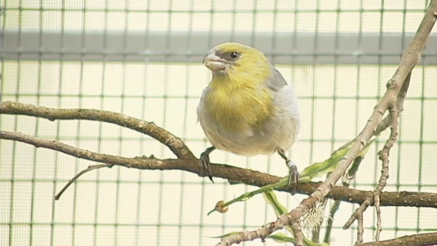 VIDEO: Endangered Palila Discussed At GMAC Meeting