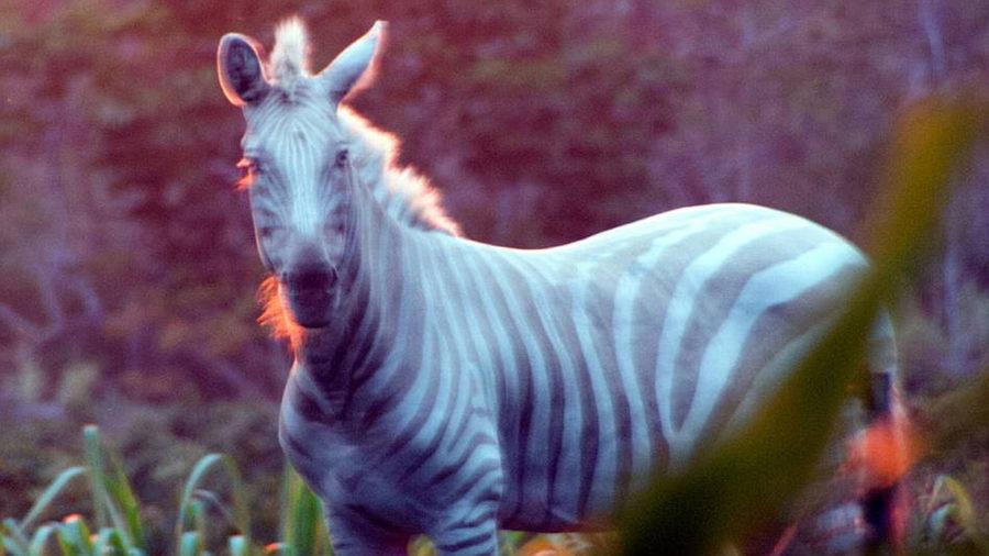 Zoe, Kona's Rare Golden Zebra, Dies