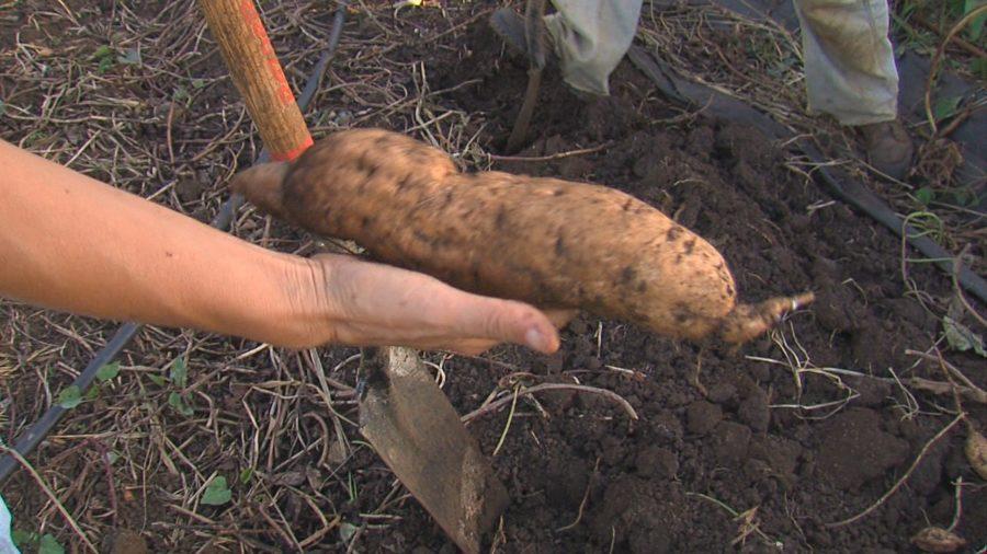 VIDEO: Hawaii County Eyes A Better Sweet Potato