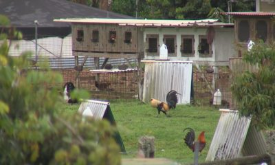 VIDEO: Rooster Bill Dies After Opponents Crowd Council