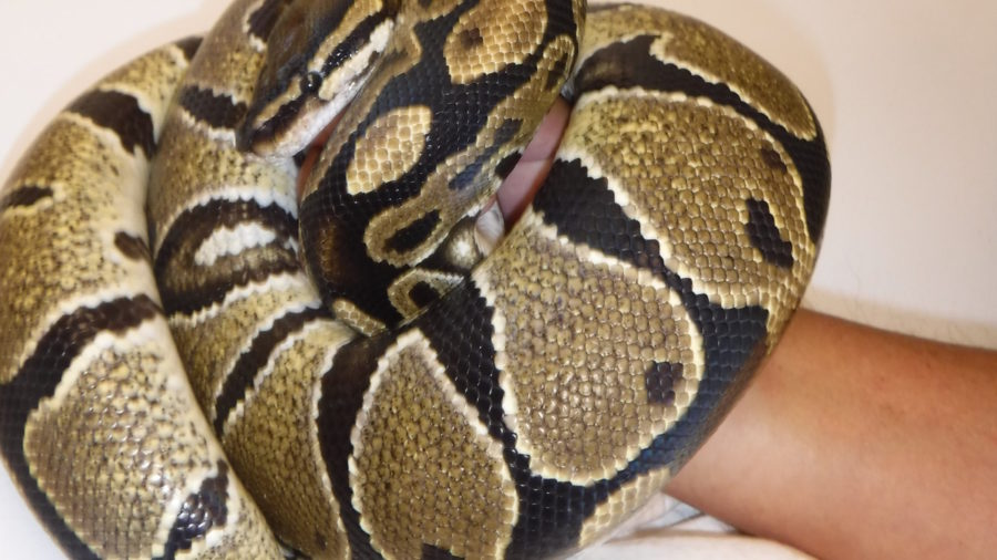 Snake Caught In Hilo Near Landfill