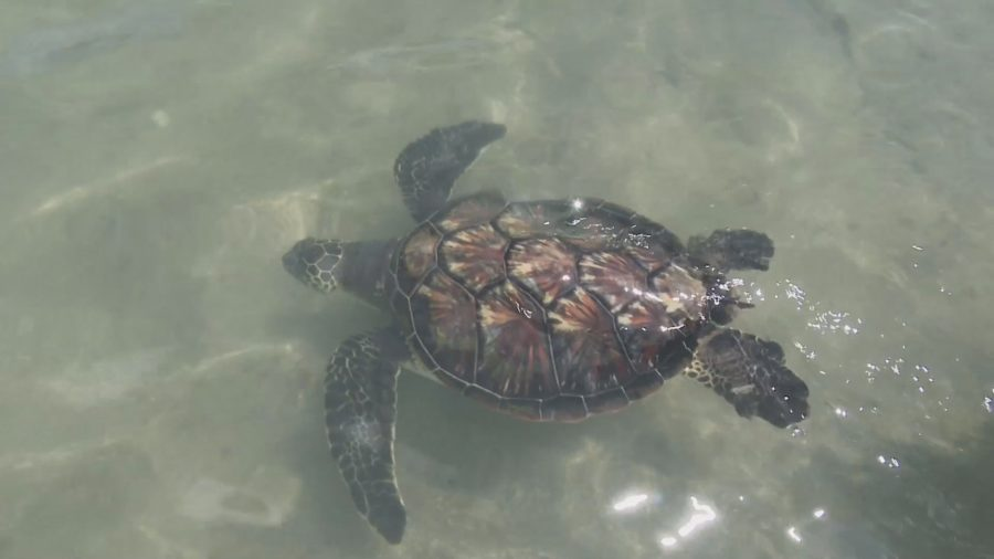 VIDEO: Turtle Independence Day At Mauna Lani