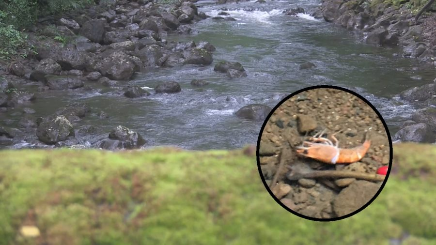VIDEO: Suspected East Hawaii Stream Poisoners Sought