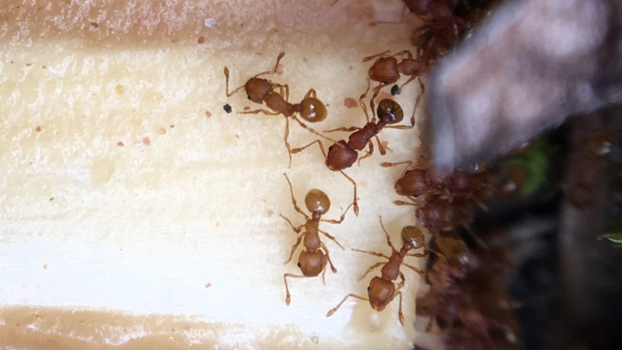 Little Fire Ants Found in Hawaii Volcanoes National Park