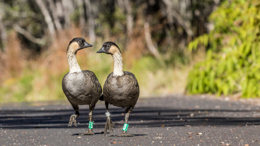 Hawaii Volcanoes National Park Closes Section To Protect Nene