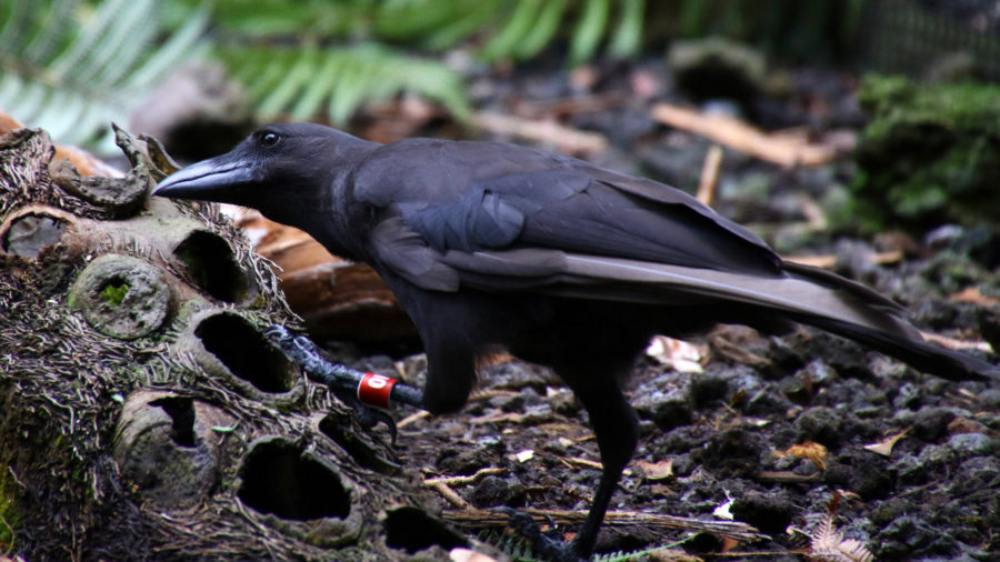 Released Hawaiian Crow Found Dead In Forest