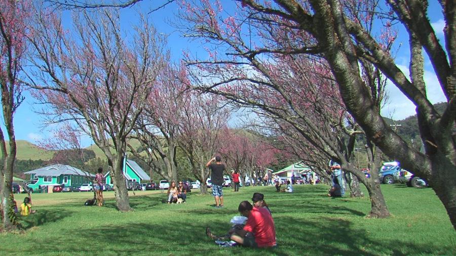 VIDEO: Waimea Cherry Blossom Fest Has Council Support