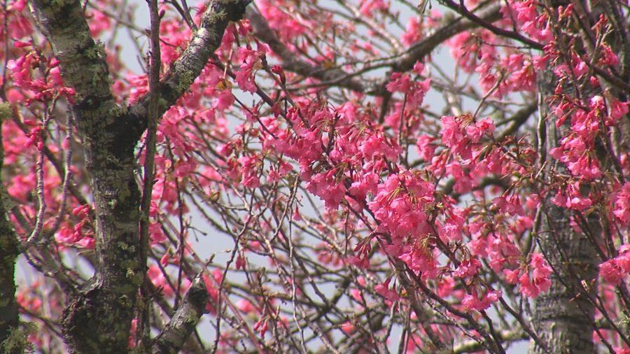 VIDEO: 2019 Waimea Cherry Blossom Festival Scenes