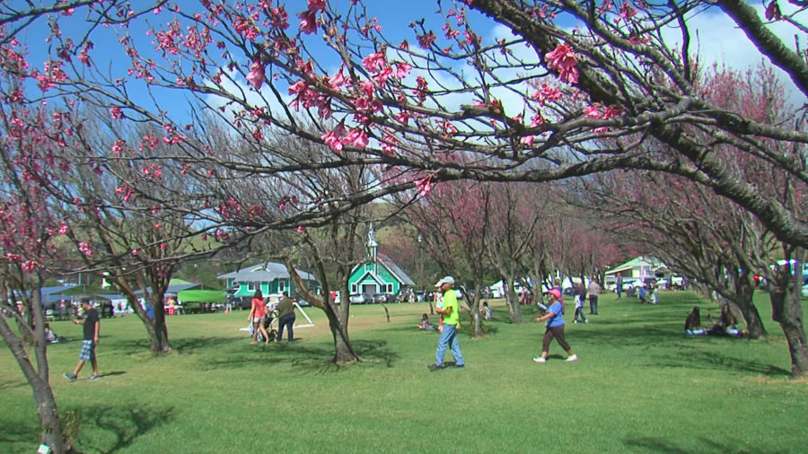 TODAY: Waimea Cherry Blossom Heritage Festival