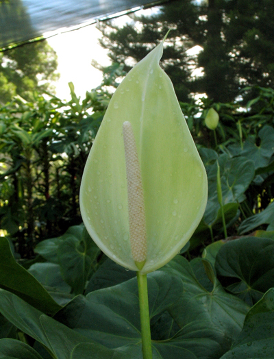CTAHR holds open house, touts new anthurium varieties