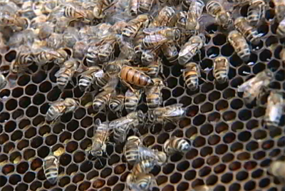 Big Island Beekeepers survey the damage caused by pests