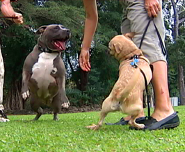 VIDEO: Hilo dog whisperer offers free advice for troubled canines