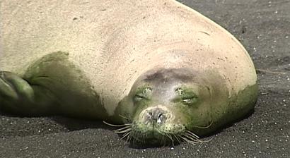 RAW VIDEO: Hawaiian Monk Seal basks on Hilo beach