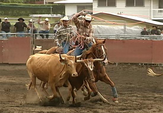 VIDEO: Wild cow milking contest at Hawaii's Western Week