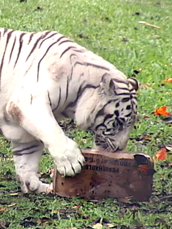 VIDEO: Hilo Zoo opens playground on tiger's birthday