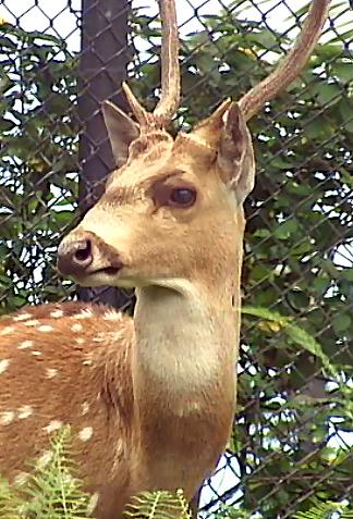 VIDEO: Hawaii senator sizes up invasive axis deer