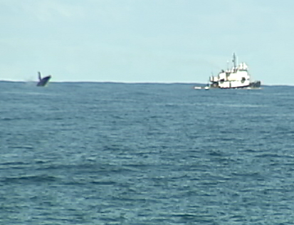 VIDEO: Whale watchers line up in Hilo to count humpbacks